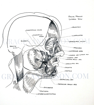 Facial muscles referenced from Forensic Art & Illustration