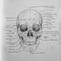 Anatomical landmarks of the human skull.
