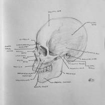 Anatomical landmarks of the human skull.