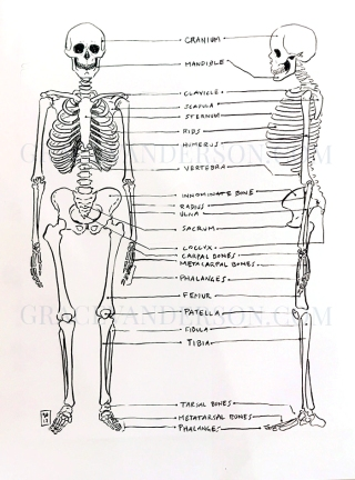 Basic skeletal components referenced from Human Osteology